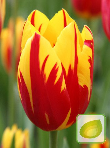 blumenzwiebeln und herbstrhizome tulpen tulip. Black Bedroom Furniture Sets. Home Design Ideas
