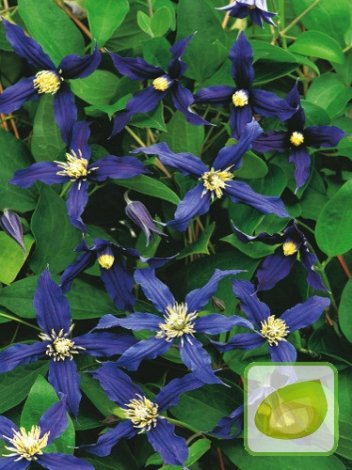 ganzbl ttrige waldrebe clematis integrifolia. Black Bedroom Furniture Sets. Home Design Ideas
