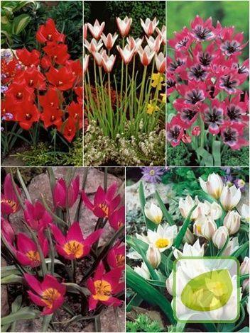 satz botanische tulpen 3. Black Bedroom Furniture Sets. Home Design Ideas
