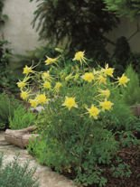 Akelei (Aquilegia) Yellow Queen