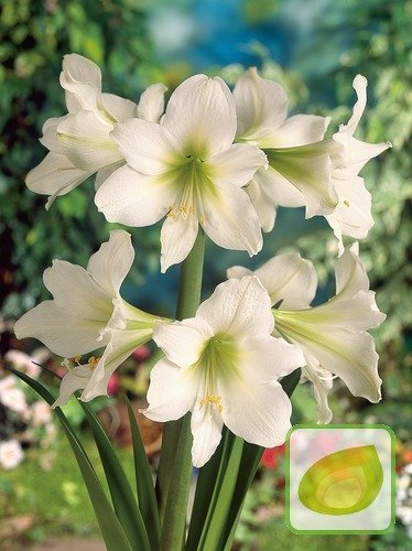 Amaryllis Green Goddess