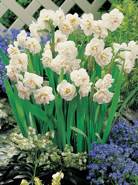 DUFTENDE Narzisse (Narcissus) 'Bridal Crown'