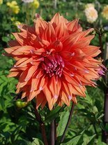 Dahlie (Dahlia) 'Colour Spectacle'