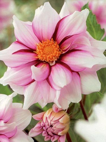 Dahlie (Dahlia) 'Edge of Joy'