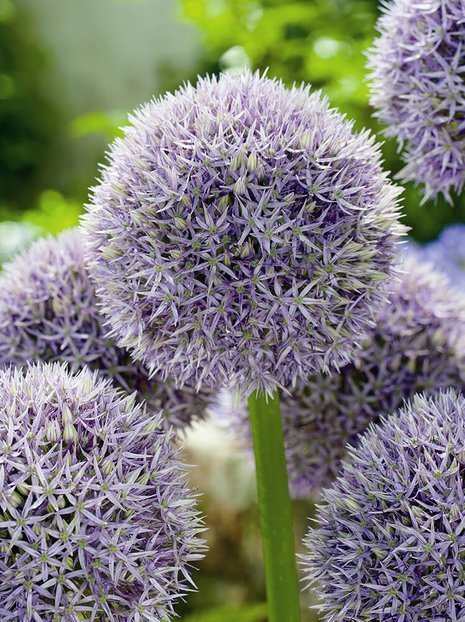 Dekorativer Knoblauch (Allium) Round and Purple