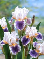 Deutsche Schwertlilie (Iris Germanica) 'American Patriot'