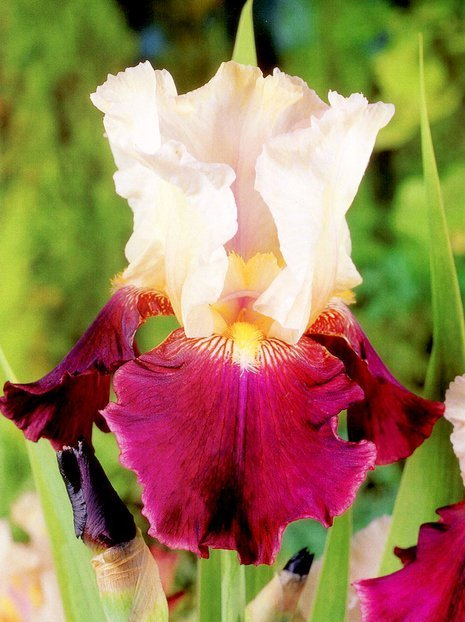 Deutsche Schwertlilie (Iris Germanica) 'Tiger Butter'