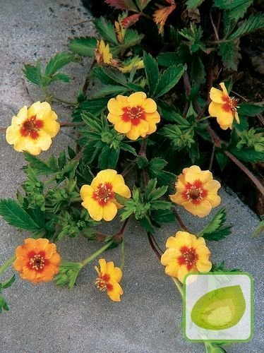 Fingerkraut (Potentilla) Tonguei