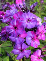 Flammenblume (Phlox) Autumn Joy