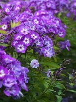 Flammenblume (Phlox) Blue Boy