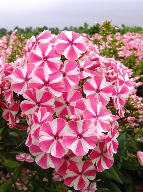 Flammenblume (Phlox) Peppermint Twist