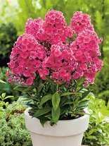 Flammenblume (Phlox paniculata) 'Grenadine Dream'