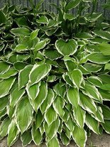 Funkie (Hosta) 'Green Gold'