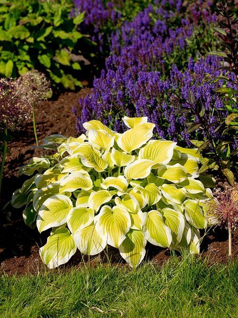 Funkie (Hosta) 'Spring Morning'