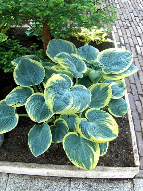 Funkie (Hosta) 'Sugar Daddy'