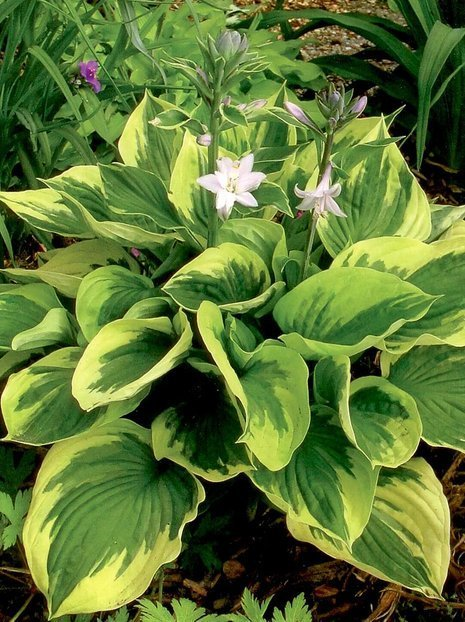 Funkie (Hosta) 'Twilight'