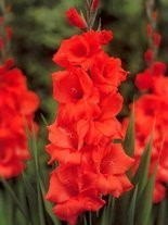 Gladiole billig (Gladiolus) 'Hunting Song'