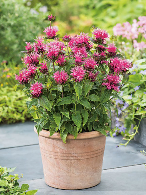 Indianernessel (Monarda)  'Cranberry Lace'