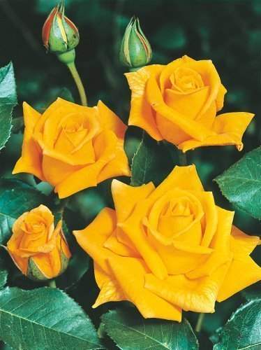 Kletterrose (Rosa) 'Royal Gold'