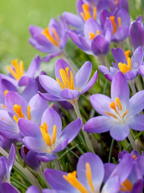 Krokus (Crocus) 'Whitewell Purple' billig