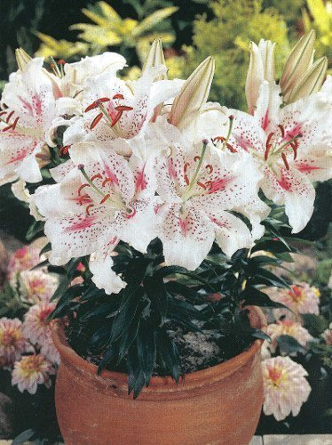 Lilia (Lilium) 'Solution'