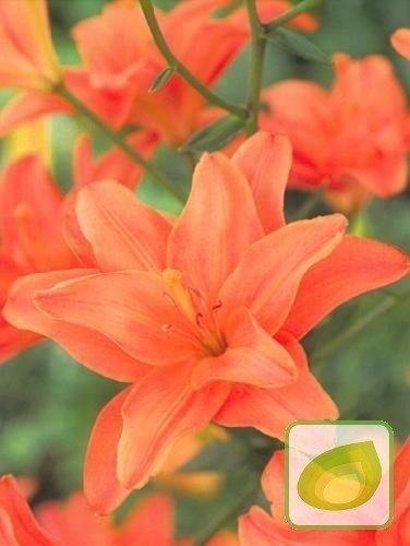 Lilie (Lilium) Strawberry Vanilla