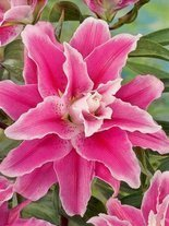 Lilie (Lilium) Sweet Rosy