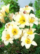 Lilie (Lilium) 'White Planet'