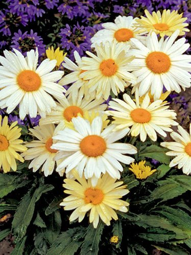 Margerite (Leucanthemum) Broadway Light