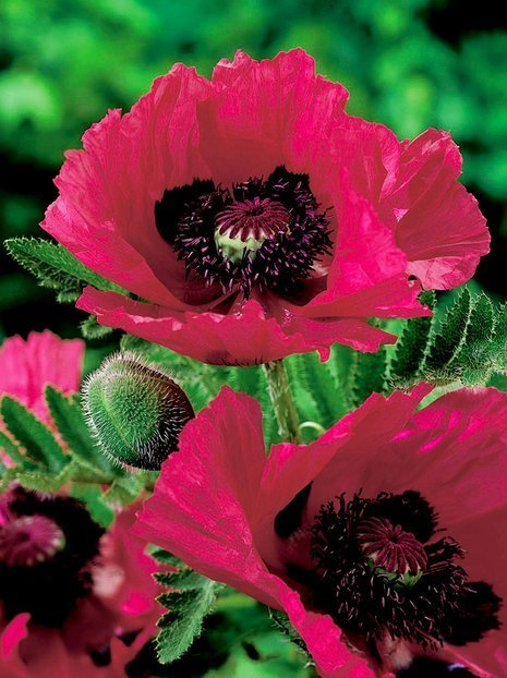 Mohn (Papaver) Watermelon