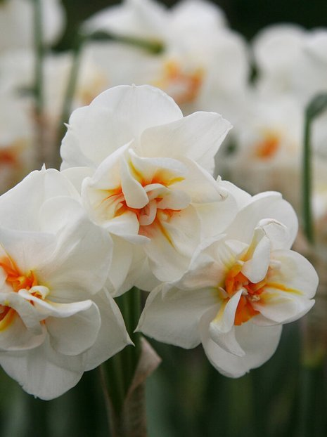 Narzisse (Narcissus) 'Sir Winston Churchill'