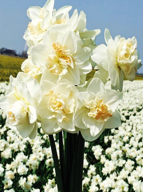 Narzisse (Narcissus) 'Tender Beauty'