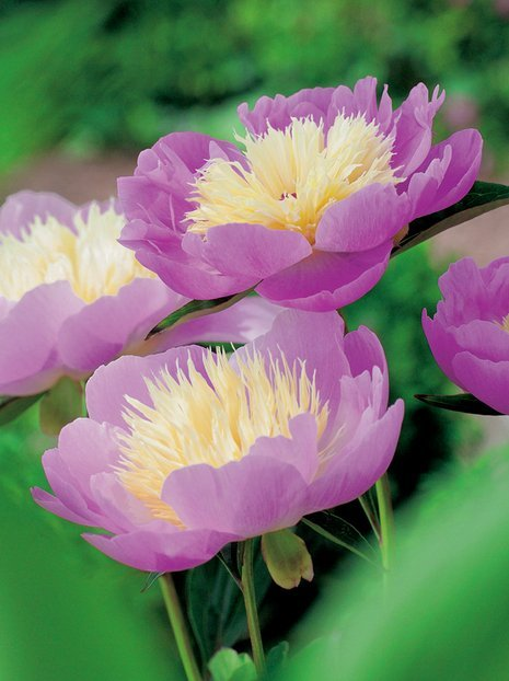 Pfingstrose (Paeonia) 'Bowl of Beauty'