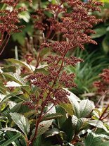 Rodgersia pinnata 'Chocolate Wings'