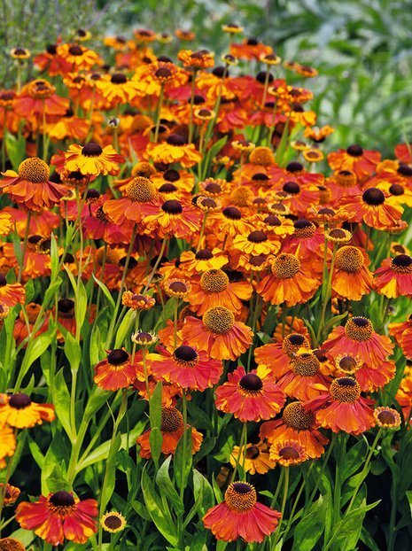 Sonnenbraut (Helenium) 'Sahin's Early Flowerer'