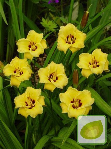 Taglilie (Hemerocallis) Bumble Bee