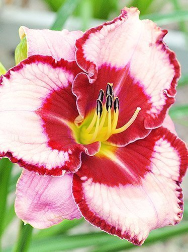 Taglilie (Hemerocallis) 'Lies and Lipstick'