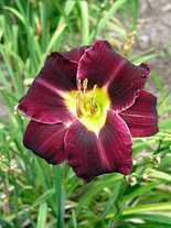 Taglilie (Hemerocallis) 'Super Purple'