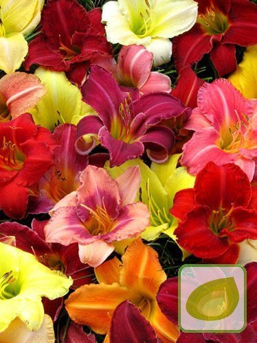 Taglilie (Hemerocallis) mix