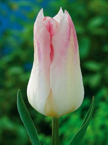 Tulpe (Tulipa) 'Holland Chic'