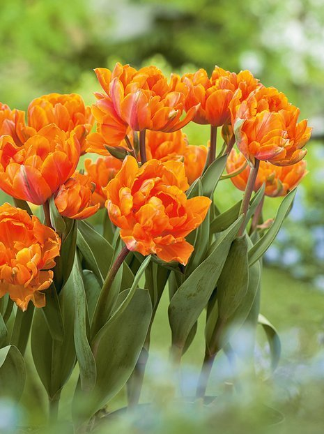 Tulpe (Tulipa) 'Orange Princess'