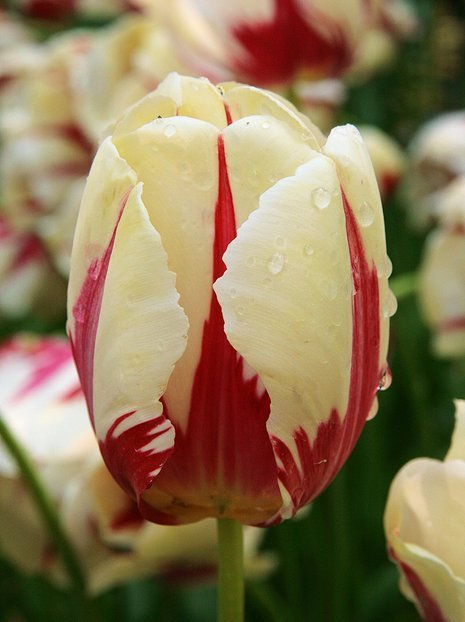 Tulpe World Expression