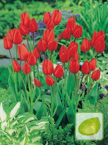 Tulpe billig Red Georgette