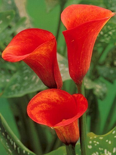 Zantedeschia (Calla) Orange