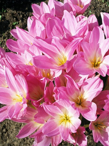 Zeitlose (Colchicum) The Giant