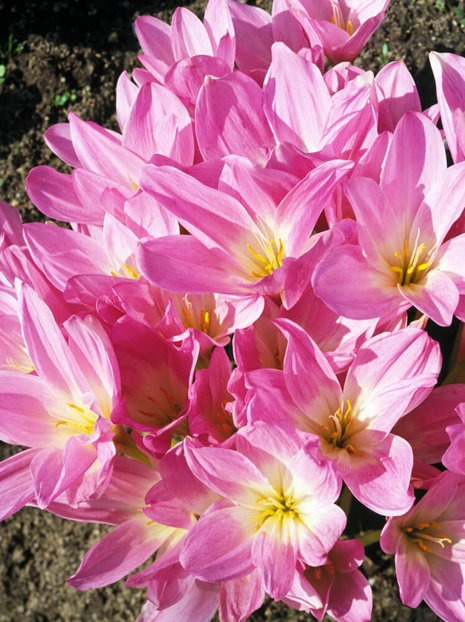 Zeitlose billig (Colchicum) The Giant