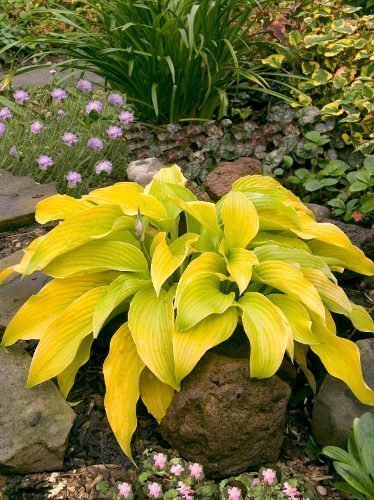 Funkie (Hosta) 'Lakeside Cha Cha'