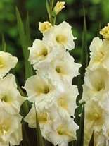Gladiole billig (Gladiolus) White Friendship