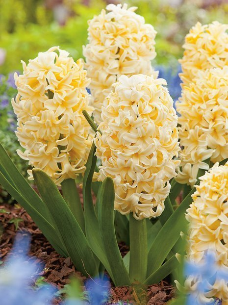 Hyazinthe (Hyacinthus) 'City Of Haarlem'