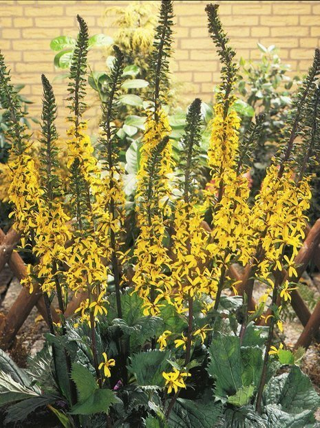 Kerzen-Goldkolbe (Ligularia) 'The Rocket'